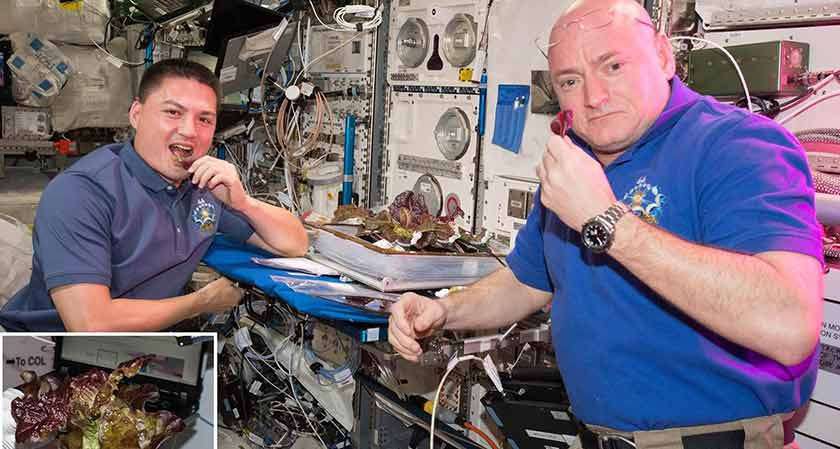 Astronauts Grow Fresh Red Romaine Lettuce Onboard the International Space Station (ISS)
